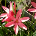 Roter Spaltgriffel - Schizostylis coccinea